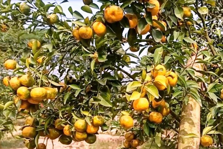 চাঁপাইনবাবগঞ্জের কমলা