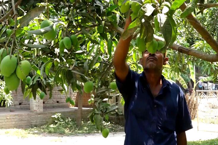 রাজশাহীর গুটি আম বাজারে
