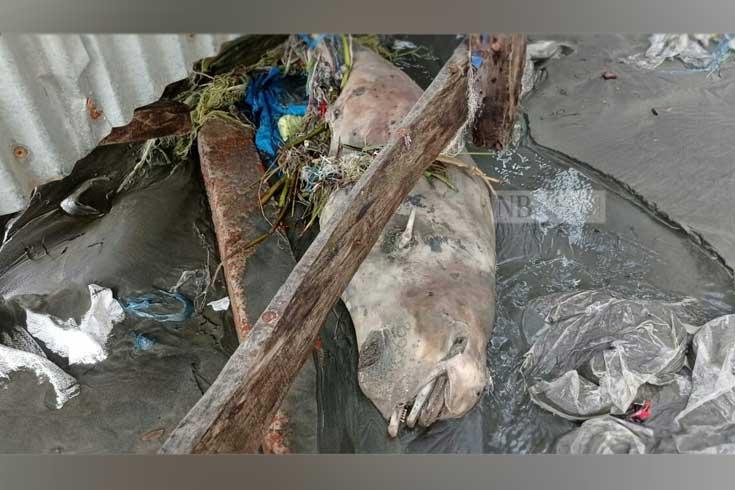বছরের ব্যবধানে কুয়াকাটায় ৩ গুণ মৃত ডলফিন