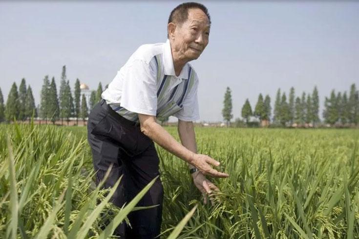চীনের 'হাইব্রিড ধানের জনক' আর নেই