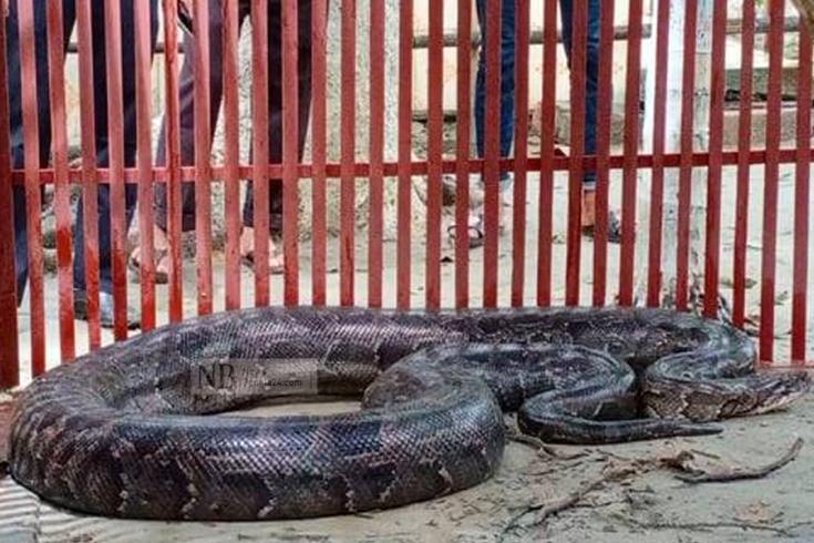 চাঁদপুরের অজগর, বানর, শকুন যাচ্ছে গাজীপুরে