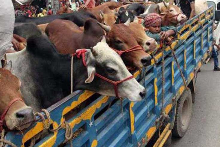 শাটডাউন: কোরবানির পশু পরিবহনে ছাড়